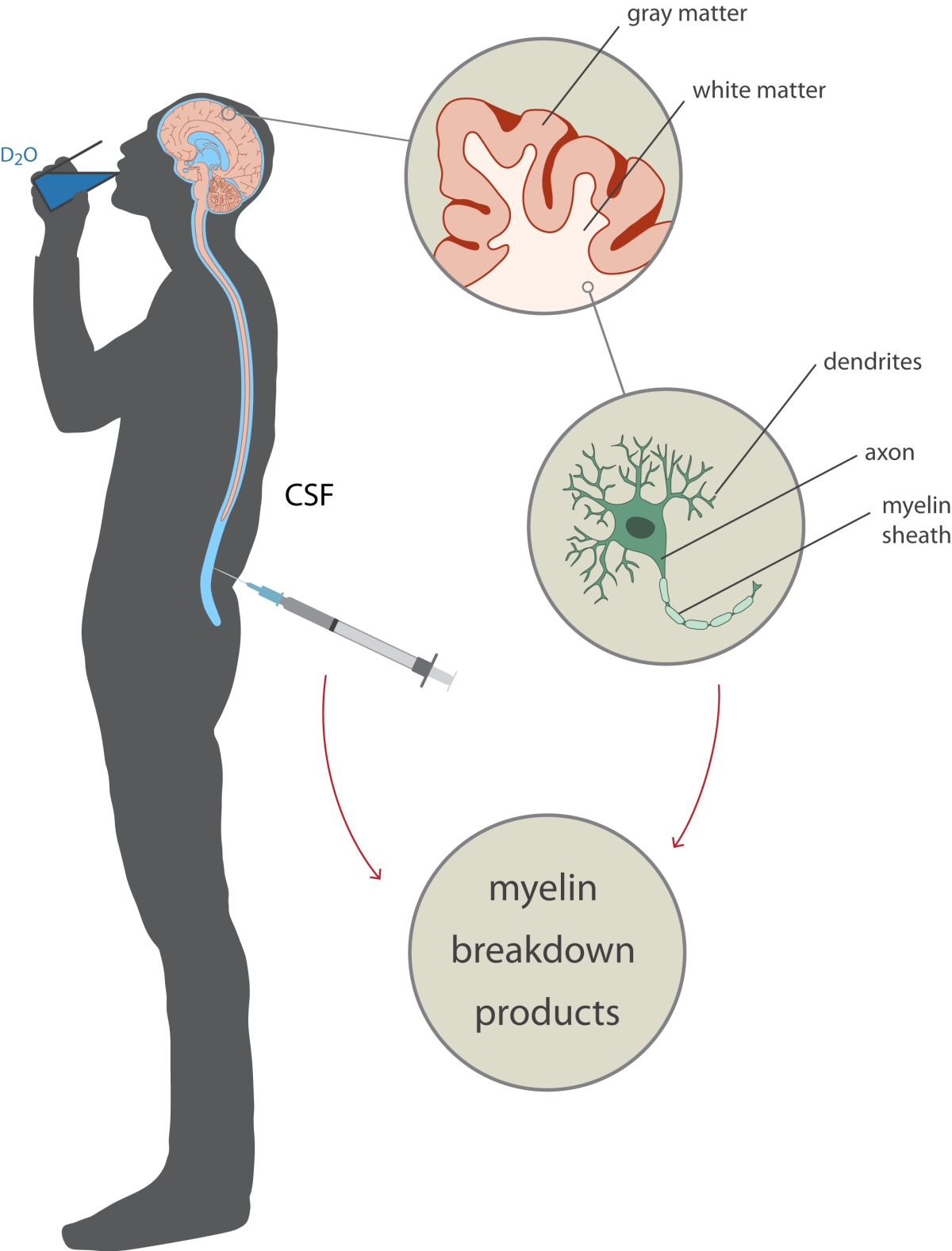 Figure_CHDR_Study_Setup_myelin_breakdown